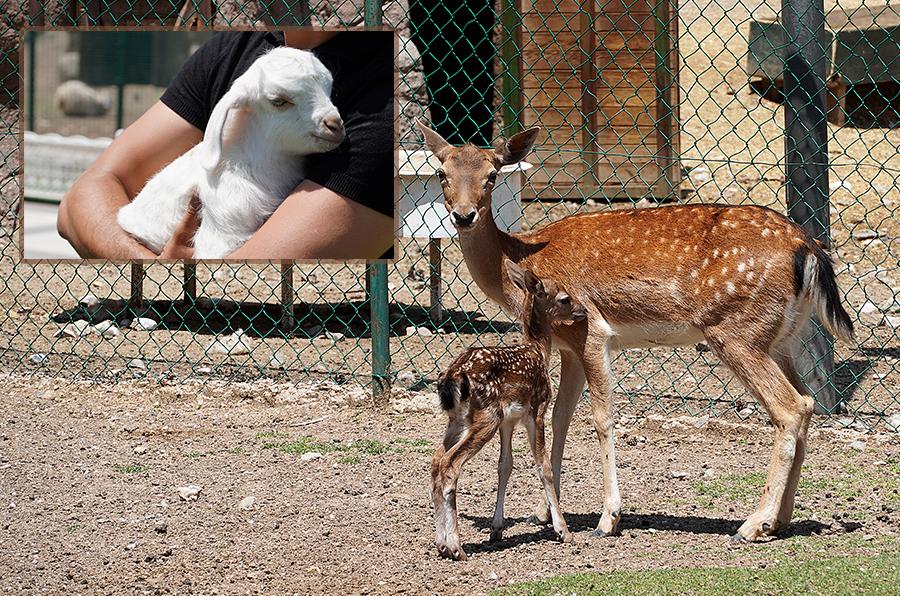 """Doğal Yaşam Parkı'nın yeni misafirleri """"Keçiko"""" ve """"Geyiko"""""""